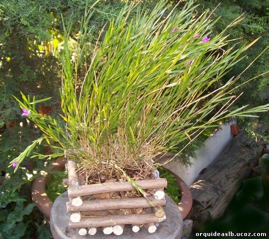 Isochillus linnearis 2009,07,31 Orquídea epífita con aspecto de gramínea. De raíces carnosas, gruesas y blanquecinas. Tallos delgados con hojas de ha
